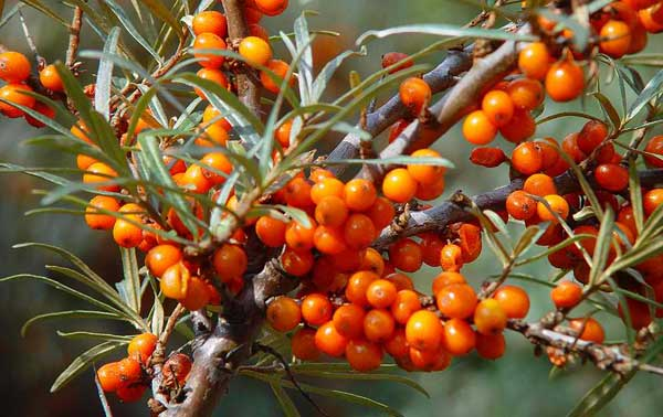 How to grow sea buckthorn seed nursery - Growing sea buckthorn ...