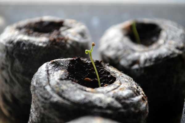 goji-seedling-2
